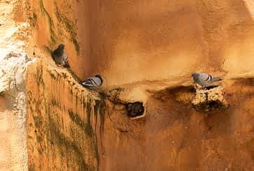 Medidas para combatir la plaga de palomas en Estella