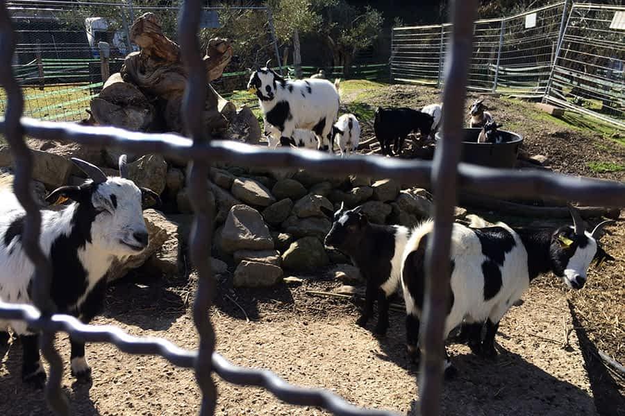 Finca con cabras de Pedrotxo, en Valdelobos (Estella-Lizarra)